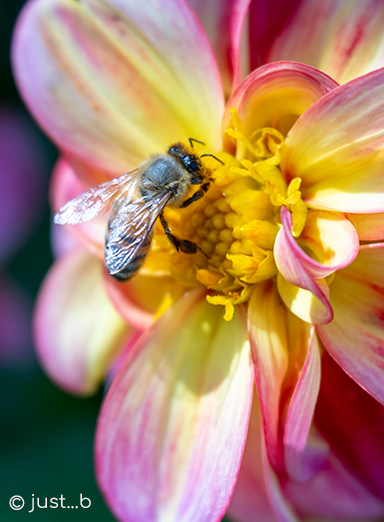 bee on dahlia flower by just...b photography