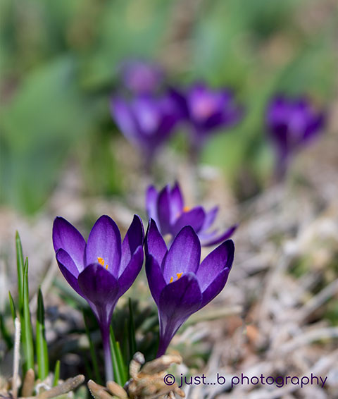 purple crocus flowers in early spring