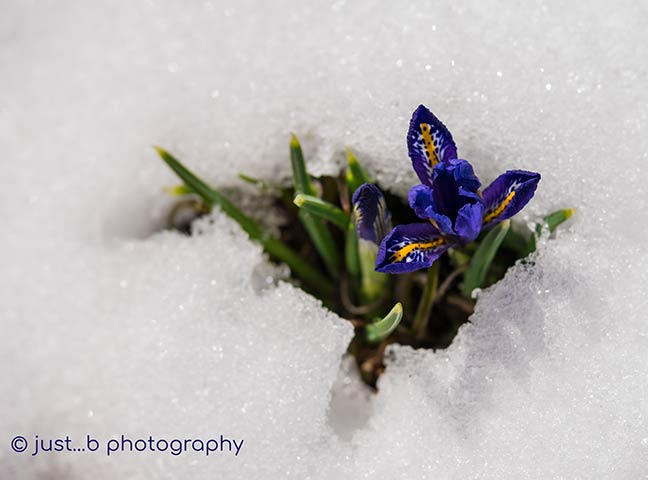 Dwarf Iris in the Spring Snow