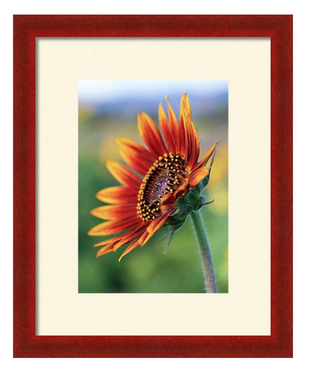 just...b photography sunflower framed print.