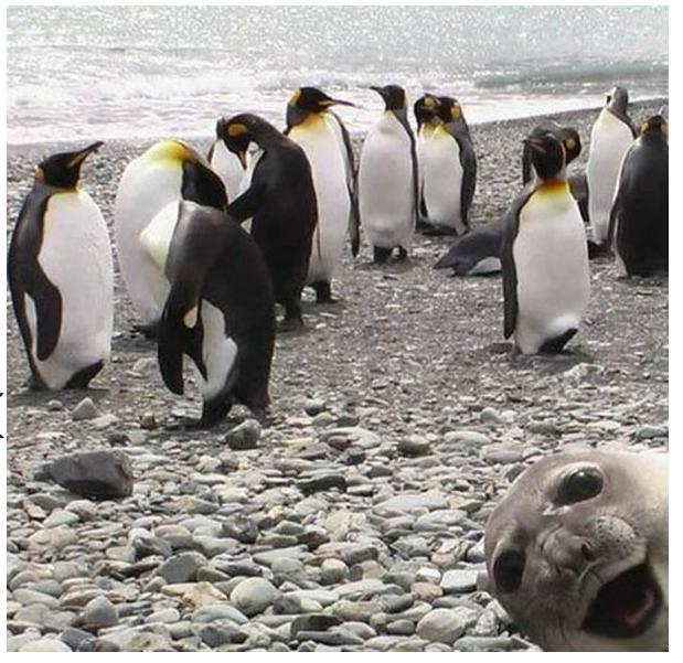seal photo bombs penguins photo
