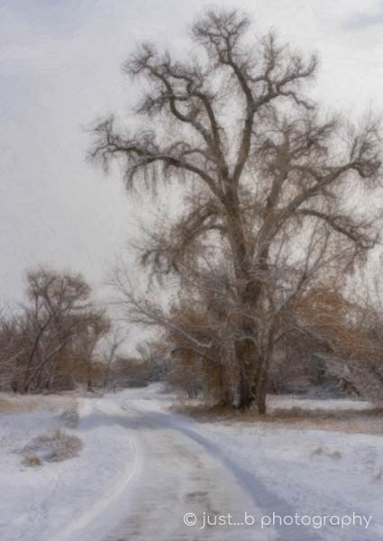 snow cleared path with leafless cottonwood tree