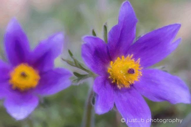 pasque flowers close-up